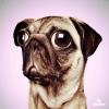 NFT Artwork for Sale —Pug Dog